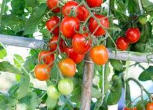 Tomates en el jardín, huerto con las plantas de tomates rojos Imagen de archivo