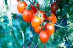 Tomates en el jardín, huerto con las plantas de tomates rojos Tomates maduros en una vid, creciendo en un jardín Tomates rojos GR Foto de archivo libre de regalías