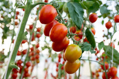Tomates en el jardín, huerto con las plantas de tomates rojos Tomates maduros en una vid, creciendo en un jardín Tomates rojos GR Imagen de archivo