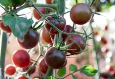 Tomates en el jardín, huerto con las plantas de tomates rojos Tomates maduros en una vid, creciendo en un jardín Tomates rojos GR Imagenes de archivo