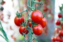 Tomates en el jardín, huerto con las plantas de tomates rojos Tomates maduros en una vid, creciendo en un jardín Tomates rojos GR Fotos de archivo