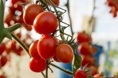 Tomates en el jardín, huerto con las plantas de tomates rojos Tomates maduros en una vid, creciendo en un jardín Tomates rojos GR Fotografía de archivo libre de regalías