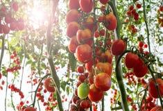 Tomates en el jardín, huerto con las plantas de tomates rojos Tomates maduros en una vid, creciendo en un jardín Tomates rojos GR Fotografía de archivo