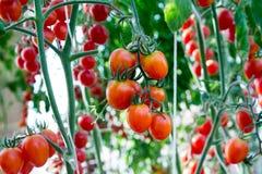 Tomates en el jardín, huerto con las plantas de tomates rojos Tomates maduros en una vid, creciendo en un jardín Tomates rojos GR Imagen de archivo libre de regalías