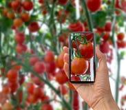 Tomates en el jardín, huerto con las plantas de tomates rojos Tomates maduros en una vid, creciendo en un jardín Tomates rojos GR Imágenes de archivo libres de regalías