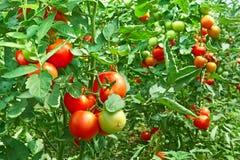 Tomates en invernadero Fotografía de archivo libre de regalías