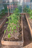 Tomates en juin Images stock