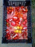 Tomates en la cesta 6 Imágenes de archivo libres de regalías