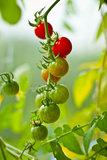 Tomates en la planta Foto de archivo libre de regalías