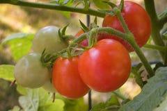 Tomates en la vid Fotos de archivo