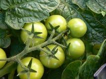 Tomates en la vid Imagen de archivo