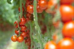 Tomates en la vid Imagen de archivo libre de regalías