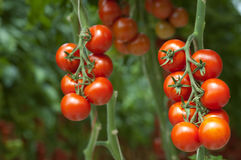 Tomates en la vid
