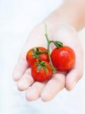 Tomates en mano de la muchacha Foto de archivo libre de regalías