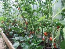 Tomates en serre chaude avec les légumes mûrs et non mûrs Images stock