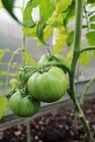Tomates en un invernadero Imagenes de archivo