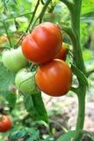 Tomates en un jardín Imagen de archivo libre de regalías