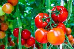 Tomates en un vástago Imagenes de archivo