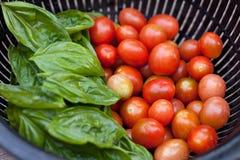 Tomates escogidos frescos de la uva Fotografía de archivo