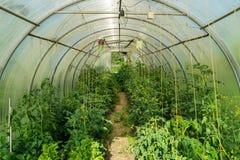 Tomates et poivrons verts de serre chaude Photos libres de droits