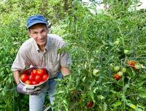 Tomates felices de la cosecha del hombre en su jardín vegetal Foto de archivo libre de regalías