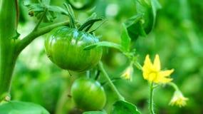 Tomates florecientes en invernadero imagen de archivo