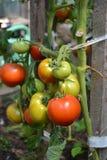 Tomates fraîches image libre de droits