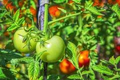 Tomates fraîches dans le jardin photographie stock libre de droits