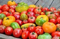 Tomates fraîches de ferme de degré différent de maturité photo libre de droits