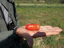 Tomates fraîches de Roma de ferme à New York Photo stock