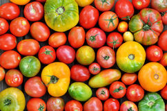 Tomates frescos da exploração agrícola do grau diferente da maturidade foto de stock