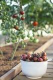 Tomates frescos em uma bacia imagem de stock