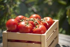 Tomates frescos em uma caixa de madeira Fotos de Stock Royalty Free