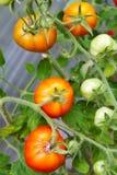 Tomates frescos en la ramificación Fotos de archivo libres de regalías
