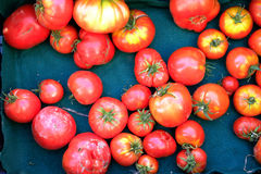 Tomates frescos en la vida verde del país del paño Fotos de archivo libres de regalías