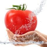 Tomates frescos en las manos que caen en agua Imagen de archivo libre de regalías