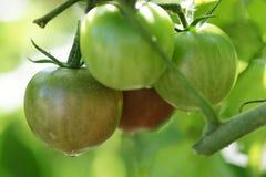 Tomates frescos en vid Imagenes de archivo
