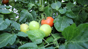 Tomates frescos molhados em um vapor Foto de Stock