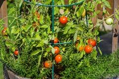 Tomates frescos no jardim Imagem de Stock Royalty Free