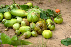 Tomates gâtées Photographie stock