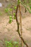 Tomates gâtées Photos libres de droits