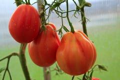 Tomates grandes naturales maduros Foto de archivo libre de regalías