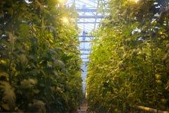 Tomates grandissant en serre chaude Image libre de droits