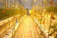 Tomates grandissant en serre chaude Photographie stock
