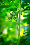 Tomates inmaduros en el arbusto Foto de archivo