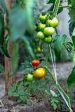 Tomates inmaduros en invernadero hecho en casa Fotos de archivo