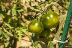 Tomates inmaduros negros Vehículos crecientes Nueva variedad de tomates Añil Rose Imágenes de archivo libres de regalías