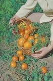 Tomates jaunes récemment récoltées Photographie stock