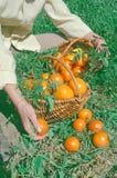 Tomates jaunes récemment récoltées Images libres de droits