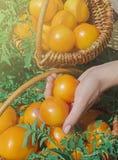 Tomates jaunes récemment récoltées Photo stock